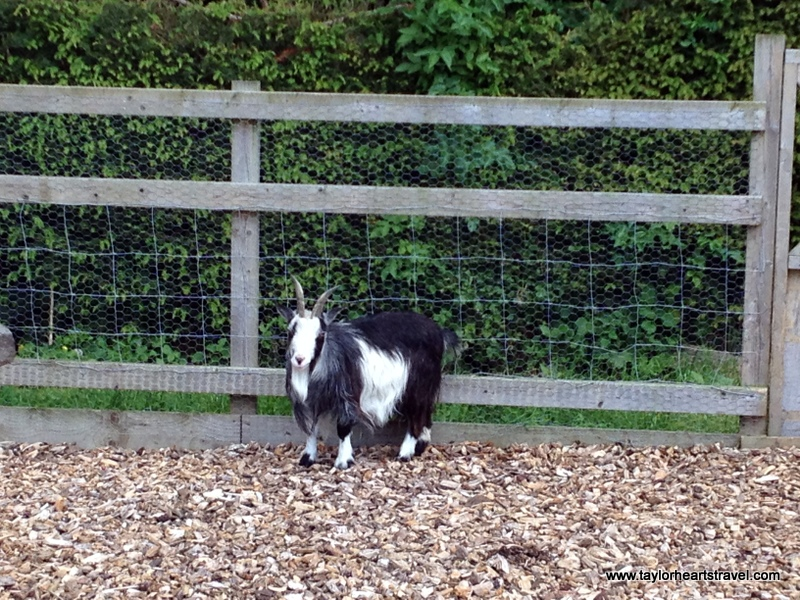 Northamptonshire, Castle Ashby, Castle Ashby Gardens, Farm, Farm Yard, Goat